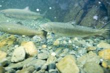 Underwater photo of Spring Chinook in the South Fork Gorge.