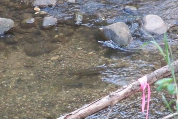 Spawning Oncorhynchus mykiss pair on a redd in Hilton Creek within the Santa Ynez River basin